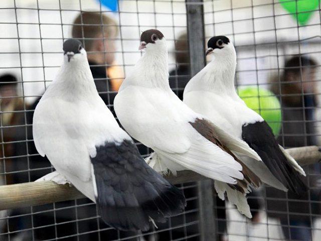 """Чиновники пропонують: декоративних голубів, яких демонструють на """"стометрівці"""", вилучати і передавати до Галицького НПП"""