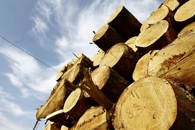У Кутському лісгоспі виявили незаконно рубку лісу на понад пів мільйона