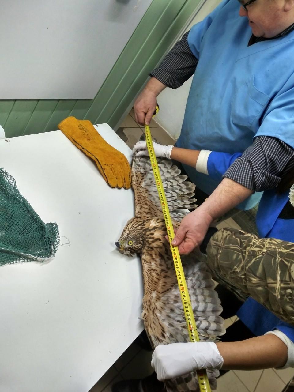 На Прикарпатті знайшли фінського яструба, він знесилений і потребує реабілітації (ФОТО)
