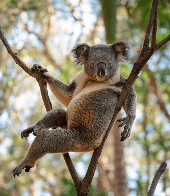 Сексуальна коала показала, як треба позувати і стала зіркою мережі