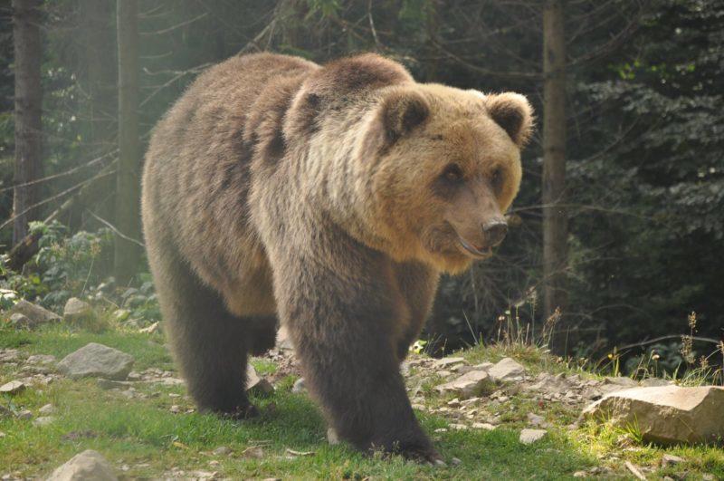 У прикарпатському Центрі реабілітації диких тварин прокинулись врятовані ведмеді (ВІДЕО)