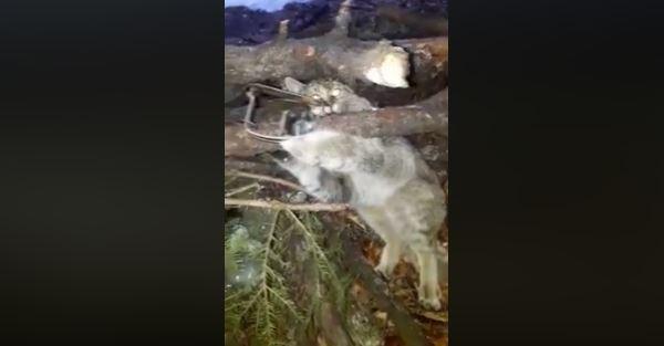 Прикарпатський єгер врятував з браконьєрської пастки дикого кота (ВІДЕО)