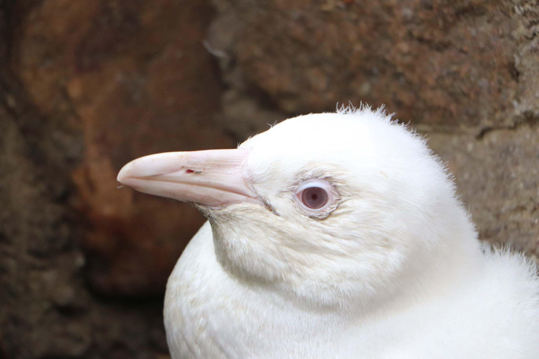 У Польщі з'явився рідкісний пінгвін-альбінос (ФОТО)