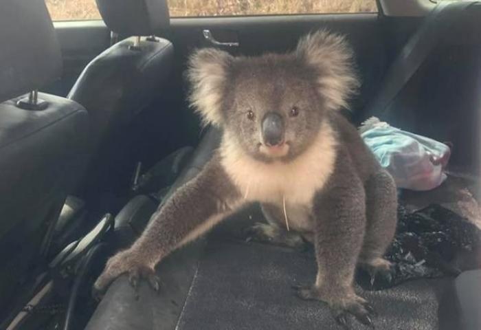 Коала «захопила» авто австралійця задля відпочинку під кондиціонером (ФОТО, ВІДЕО)