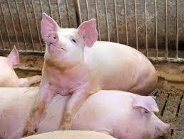 У Бельгії власник ферми щодня вмикає для свиней рок-музику (ВІДЕО)