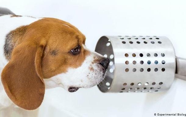 Собаки на нюх можуть точно виявляти рак легенів, – американські вчені
