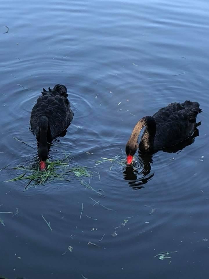 """""""Птиця може від цього загинути"""", – франківців закликають не годувати лебедів (фоторепортаж)"""