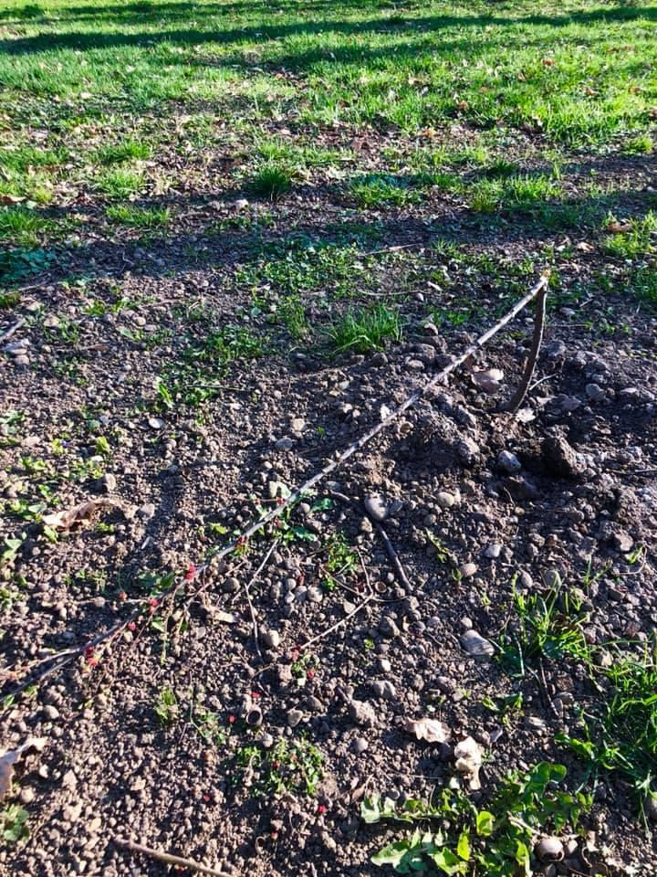 У міському парку вандали поламали квітуче деревце мигдалю (ФОТО)