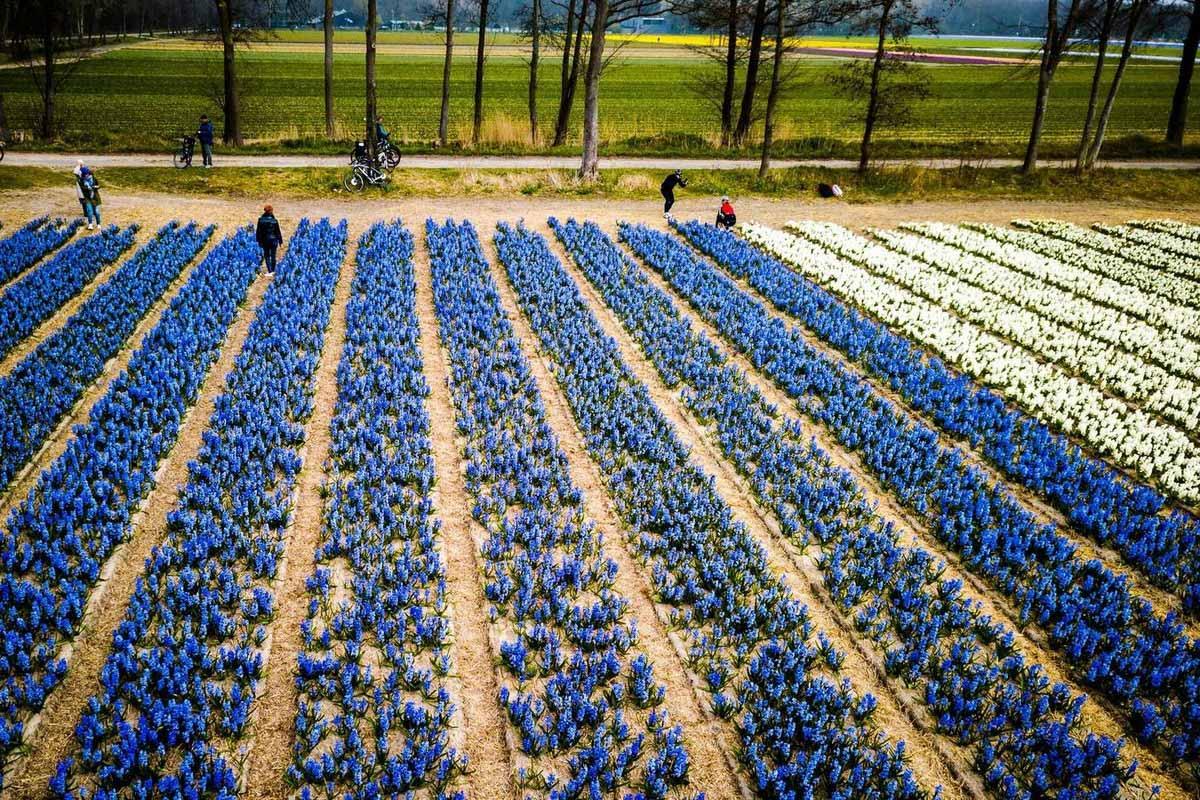 Неймовірна краса, яку не можна описати словами. У Нідерландах почали квітнути тюльпани (ФОТО)