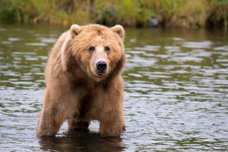 Ведмідь застряг у каністрі і блукав так лісом у Словаччині (ВІДЕО)