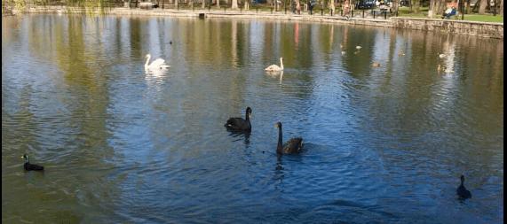 На озеро франківського парку після зимівлі повернулись чорні та білі лебеді (ФОТО)
