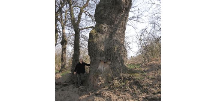 На Калущині росте дуб, вік якого може сягати 500 років (ФОТО)