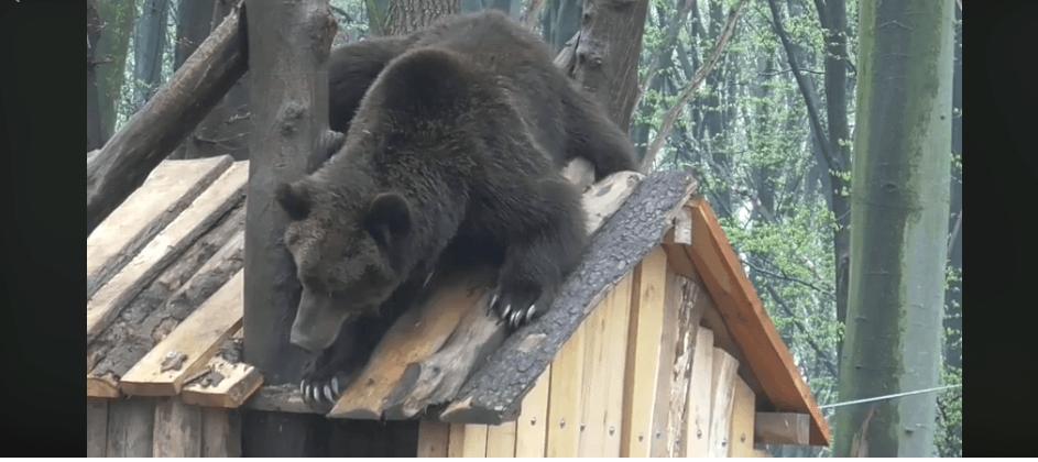 Як ведмідь у Галицькому нацпарку намагавсязлізти з даху будиночка (ВІДЕО)