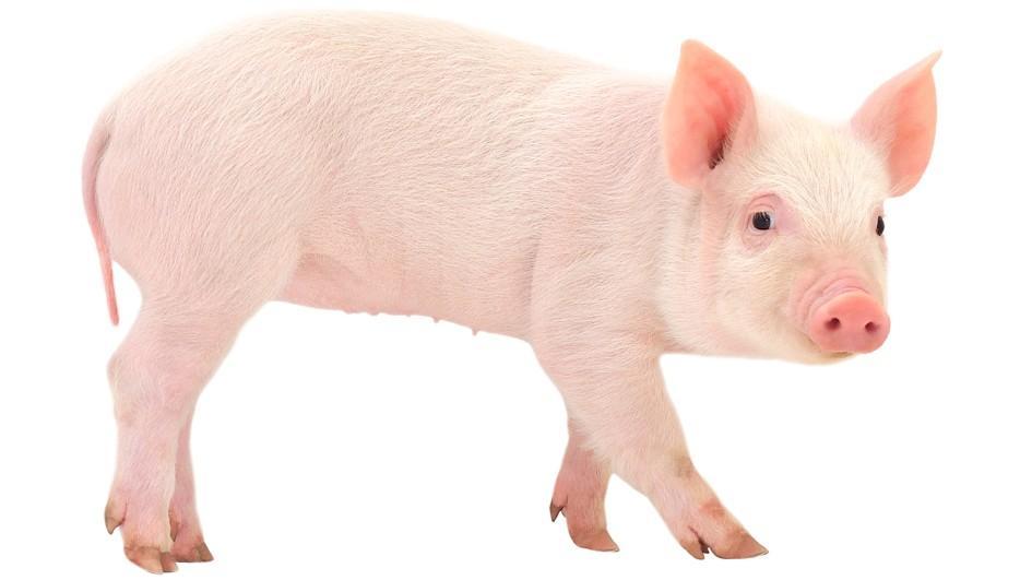 Поросяча радість: у Токіо відкрили кафе з маленькими свинками (ВІДЕО)
