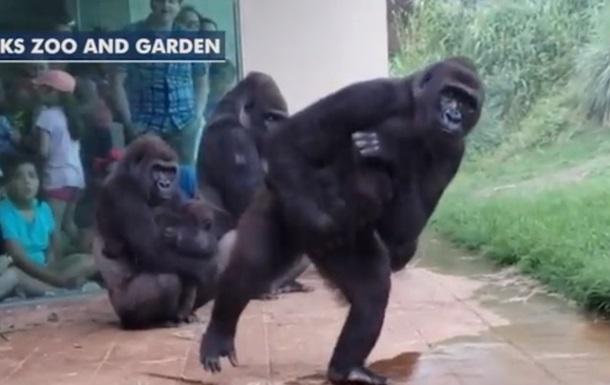 Кумедні горили, які ховаються від дощу, підкорили мережу (ВІДЕО)