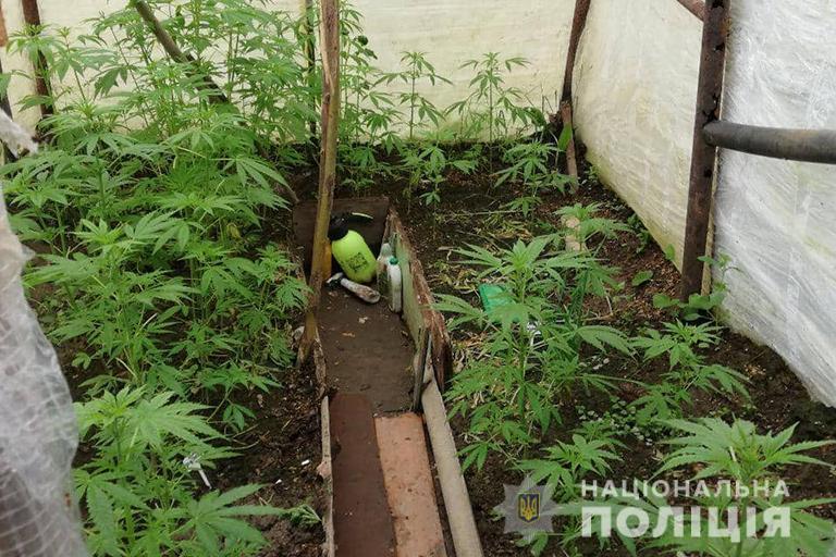 У Калуші чоловік вирощував у теплиці коноплю (ФОТО)