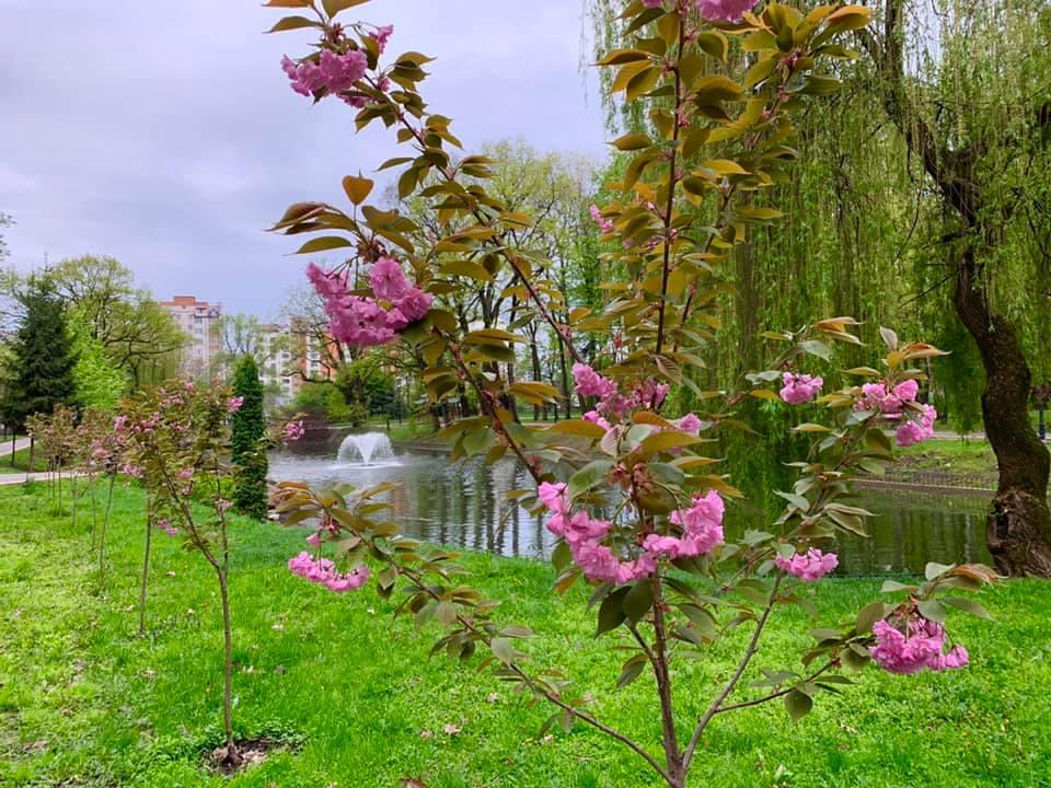 У міському парку сакури розпустили цвіт (ФОТО)