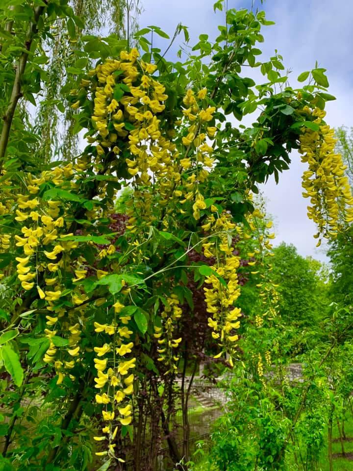 В парку Шевченка розцвіла висаджена минулого тижня «Сонячна алея» (фоторепортаж)