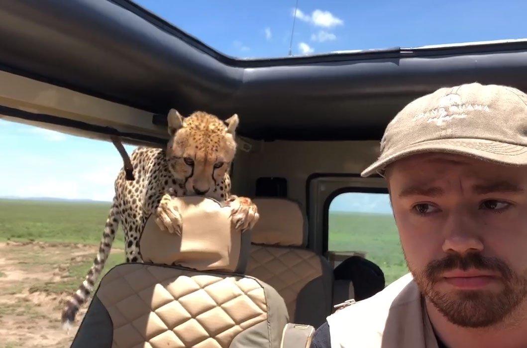 В машину туристів на африканському сафарі заскочив гепард (ВІДЕО)