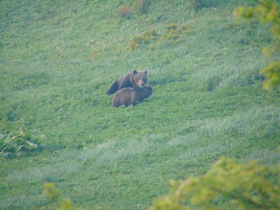 Унікальні кадри пари ведмедів зробили у Верховинському нацпарку (ФОТО)