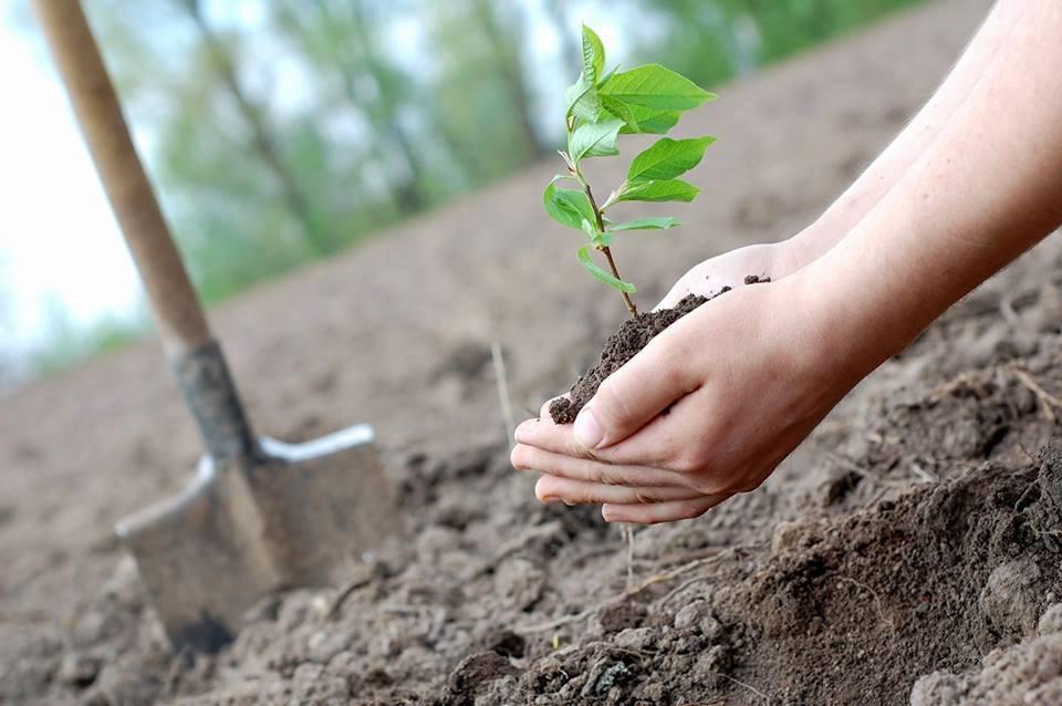 У цьому році в місті висадять 1300 молодих дерев