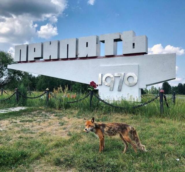 Як виглядає Чорнобиль зараз: дикі звірі на вулицях, дерева у квартирах