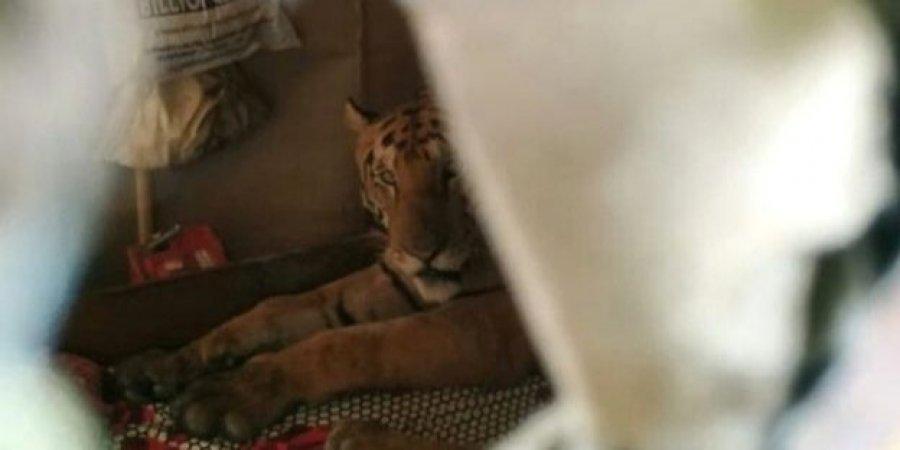В Індії тигриця, яка рятувалася від повені, потрапила в будинок місцевих жителів і проспала весь день у ліжку