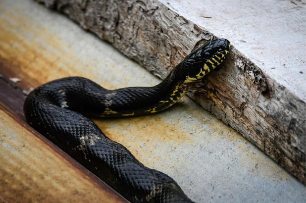 П'яний індієць загриз змію, яка його вкусила