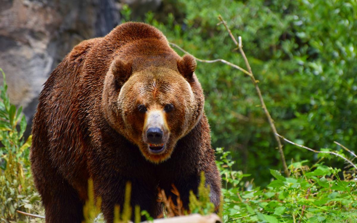 Тут живуть бурі ведмеді: прикарпатцям розповіли правила таборування у Карпатських лісах
