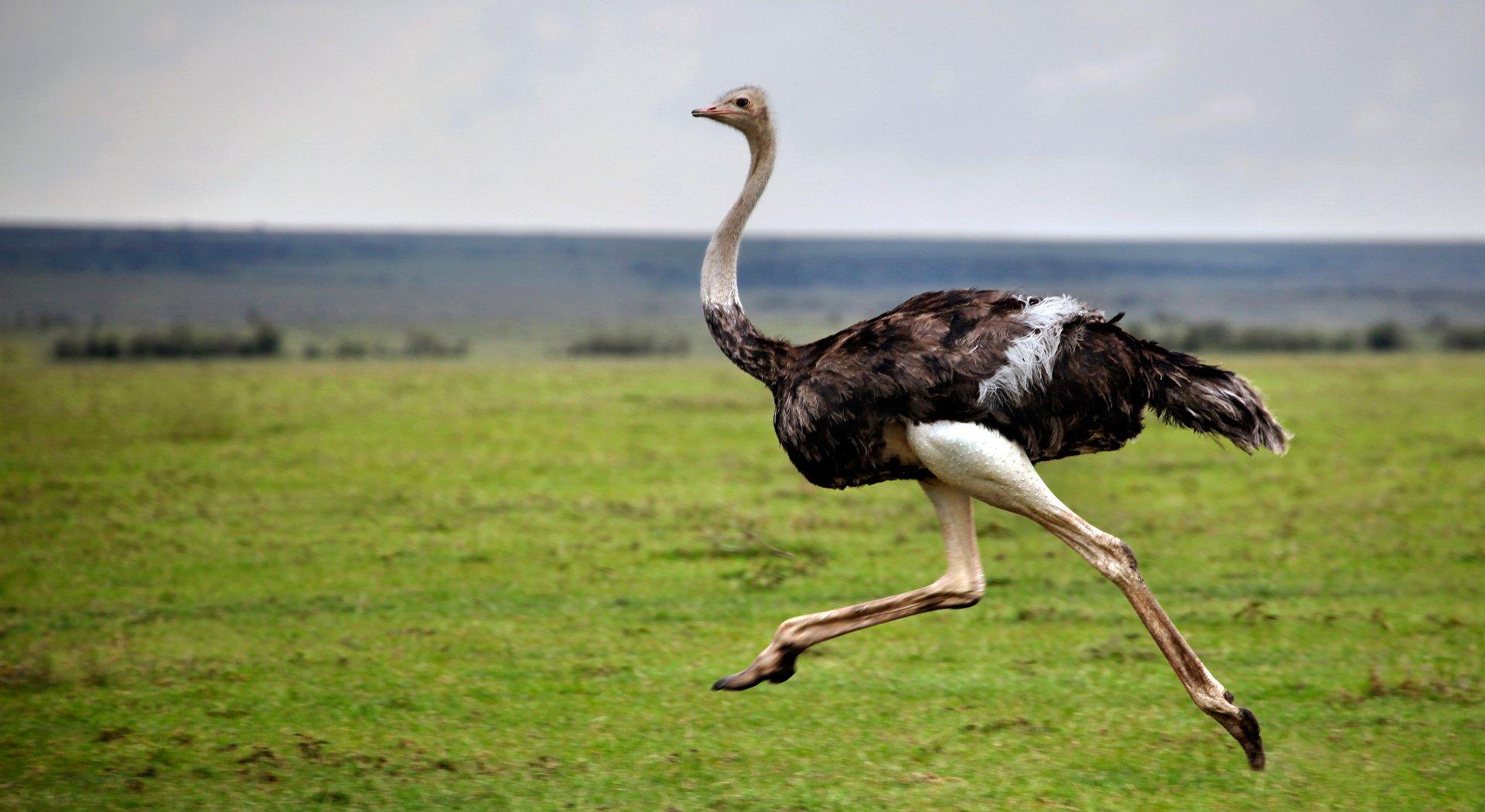 У Китаї страус вирвався на волю і стрімголов помчав містом (ВІДЕО)