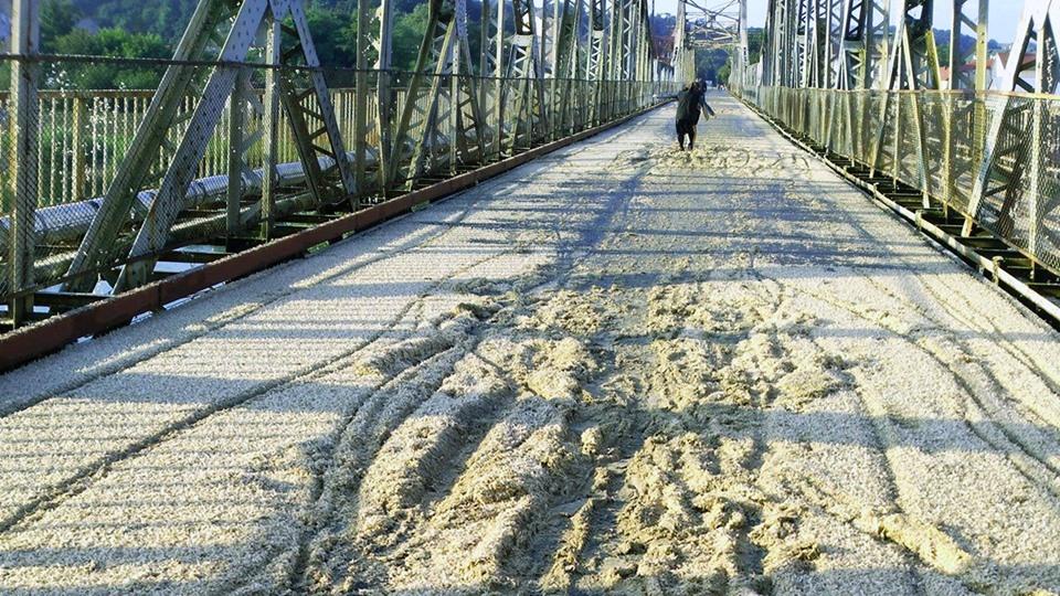 Комахи окупували пішохідний міст через Дністер у Галичі (ФОТО)