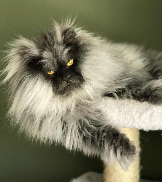 """""""Злюка Джуно"""" – завжди сердитий кіт став зіркою мережі (ФОТО)"""