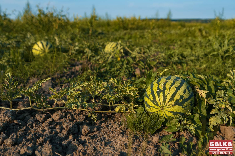 Кращі, ніж херсонські. Як під Франківськом фермеру вдалося виростити тисячі кавунів (ФОТО)