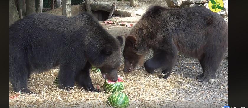 Як у Галичі ведмеді ласують херсонськими кавунами (ВІДЕО)