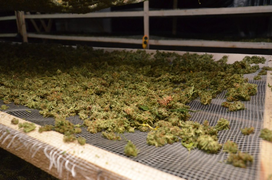 Стотисячна плантація марихуани: суд обрав запобіжний захід трьом фігурантам