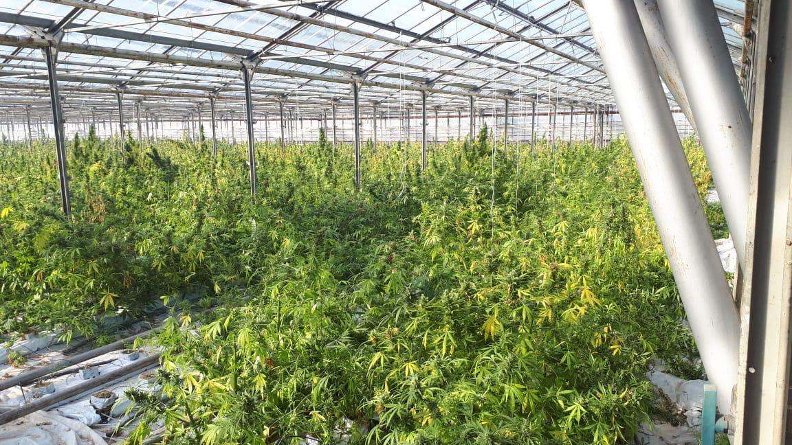 """""""Яблунів – це вам не Амстердам"""", – голова ОДА прокоментував рекордну плантацію марихуани на Прикарпатті (ФОТО)"""