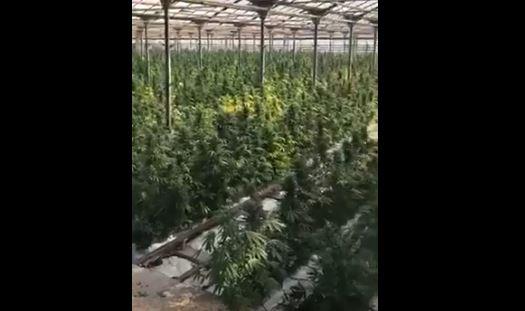 Тисячі кущів у парниках та сотні кілограмів подрібненої марихуани виявили у селі на Косівщині (ВІДЕО, ФОТО)