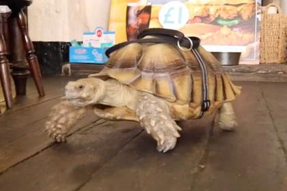 Велика черепаха внадилася повзати за господарем в британську пивну