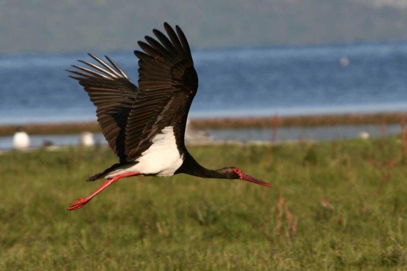 На Косівщині зафільмували рідкісного чорного лелеку (ВІДЕО)