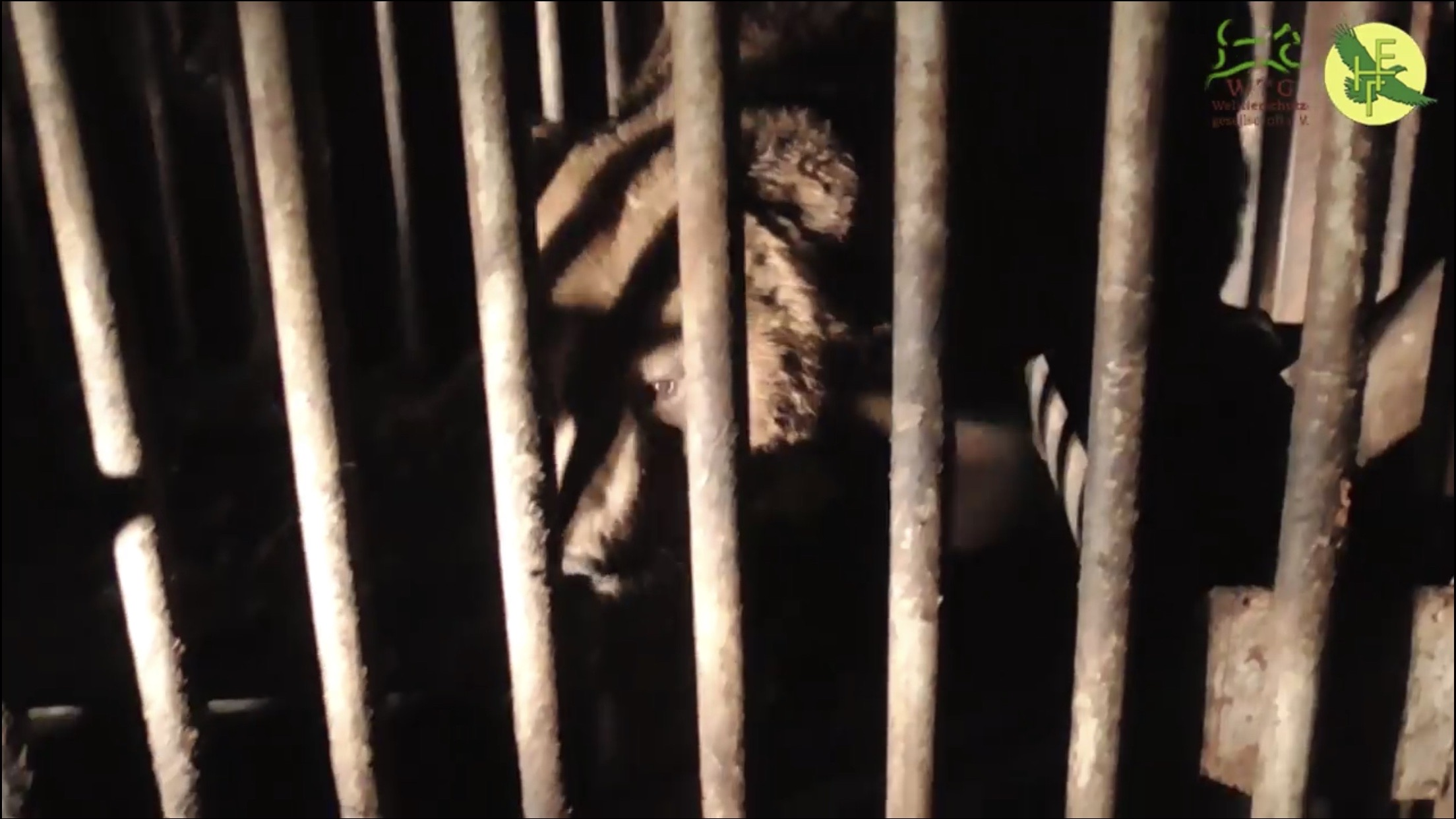 На базі, де виявили плантацію коноплі, у клітці тримали трьох ведмедів (ВІДЕО)