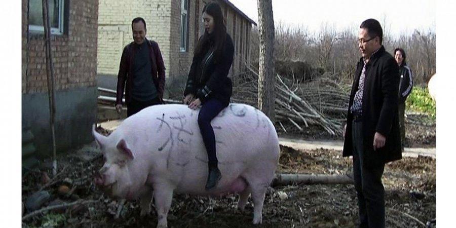П'ятачок підріс. У Китаї вирощують свиней, які важать як полярні ведмеді