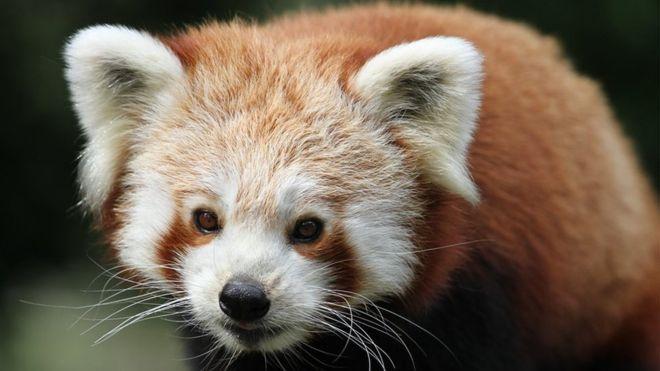 Малу панду, що втекла із заповідника, знайшли завдяки дрону. Шукали місяць