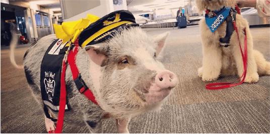 Аеропорт Сан-Франциско взяв на роботу свиню, аби вона допомагала пасажирам долати страх польотів