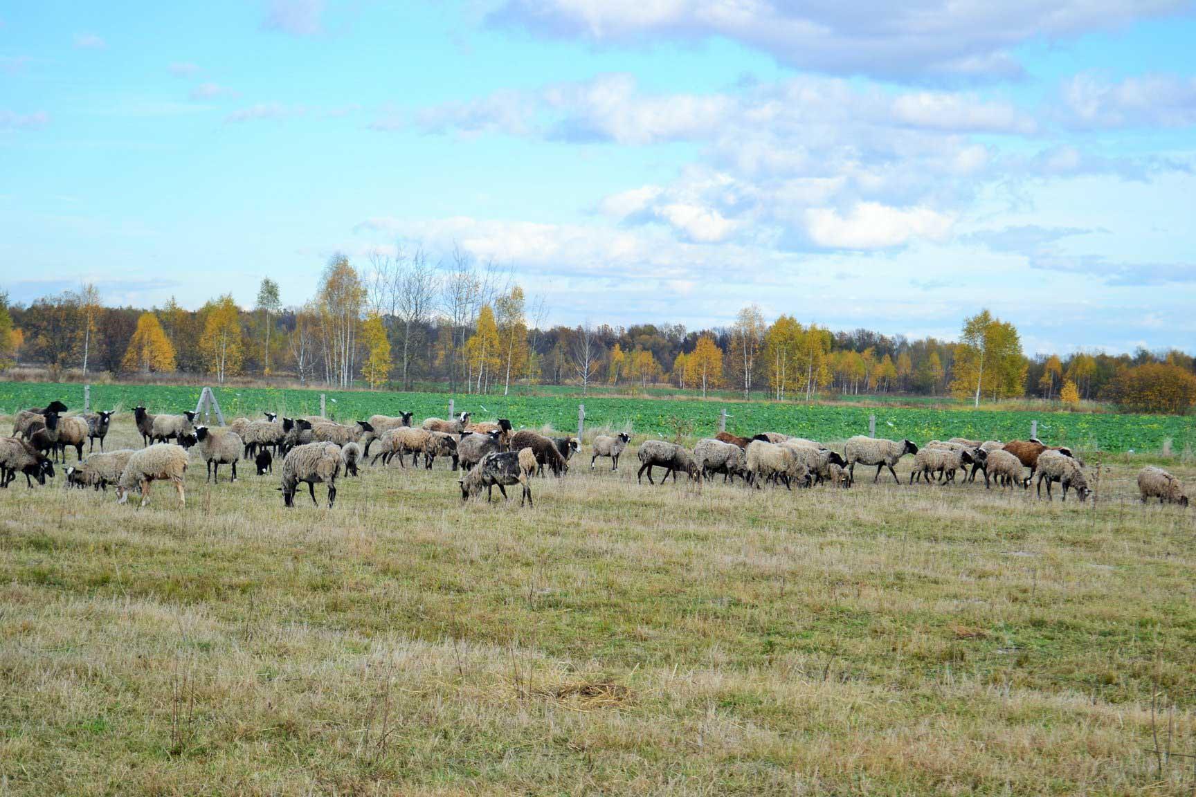 На Коломийщині запрацювала ферма з вирощування овець (ФОТО)