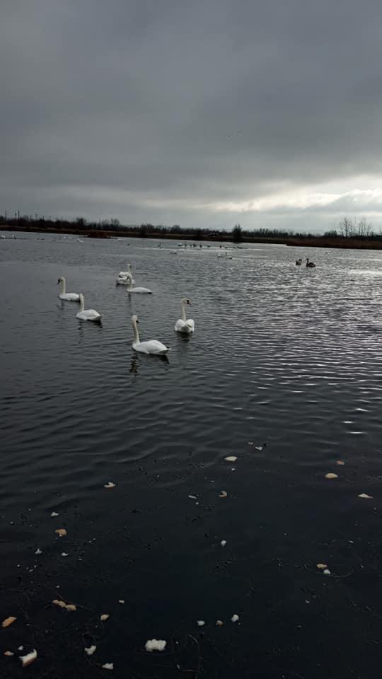 Майже 40 лебедів оселилися на озері в Калуші (ФОТО)