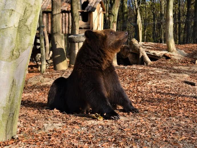 """На Верховинщині ведмідь три дні розгулював селом – зазирав у вікна і """"вивчав"""" сміттєзвалище (ВІДЕО)"""