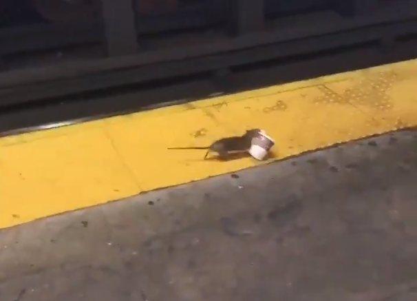 У метро Нью-Йорка засікли щура з кавовим стаканчиком (ВІДЕО)