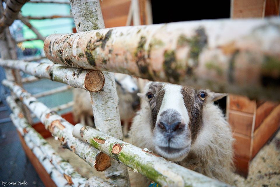 Навіть гуцули заплакали від гарних умов для овець, – у мерії пояснили, навіщо у шопці на Вічевому живі тварини