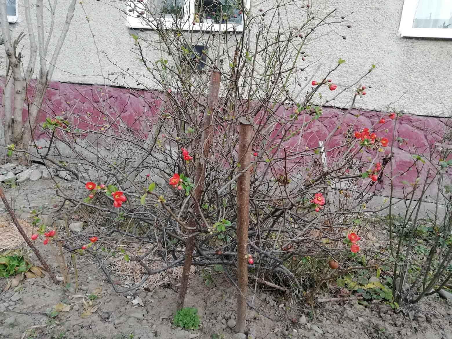 """У Долині деревце """"переплутало"""" зиму з весною і зацвіло (ФОТОФАКТ)"""
