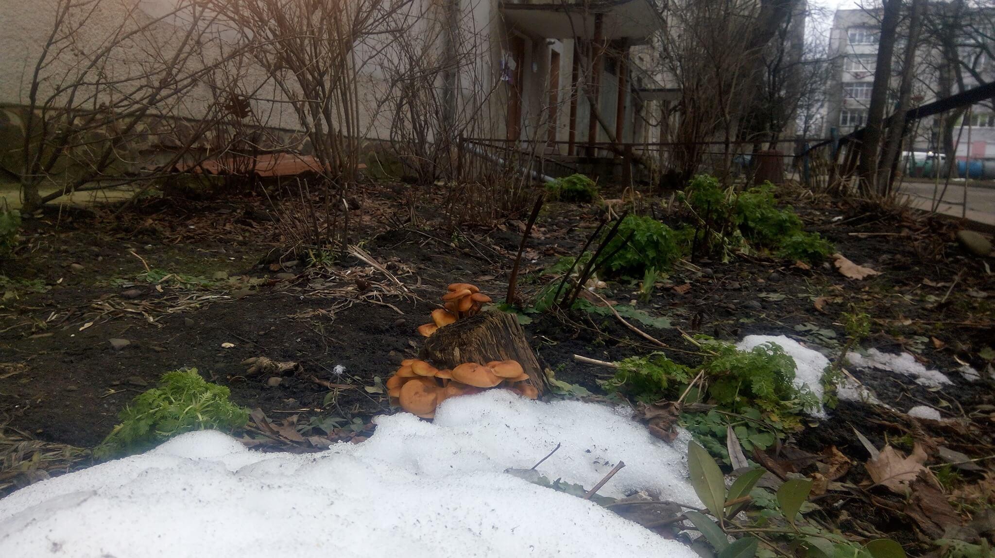 У Калуші напередодні Різдва виросли опеньки (ФОТО)